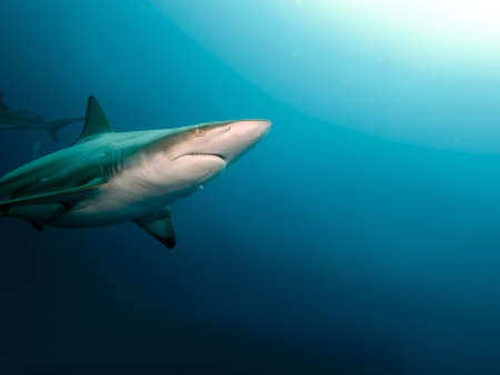 Blacktip Shark (Carcharhinus limbatus) in the big blue ocean Stock Photo