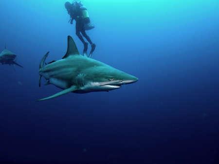 shark teeth: Punta negra (Carcharhinus limbatus) y el tibur�n toro (Carcharhinus leucas) rodeando a un buzo Foto de archivo