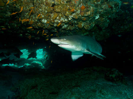 Ragged tooth Shark (Cacharias taurus) under a coral ledge photo
