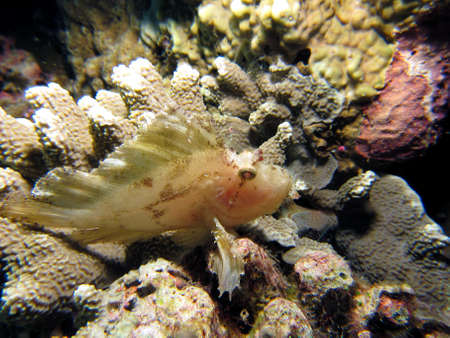 White Leaf Scorpionfish  Paper fish resting on hard coral photo