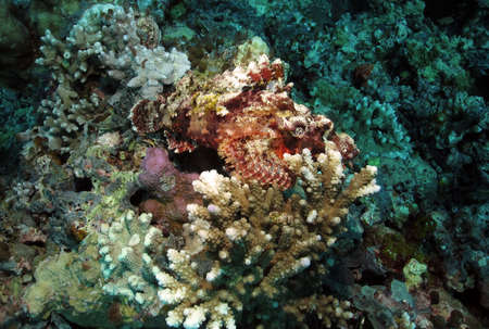 Raggy Scorpionfish resting on hard coral Stock Photo