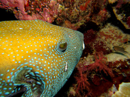 arothron: Yellow Pufferfish with Blue spots and scars Stock Photo