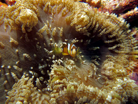Barrier Reef Clownfish / Anemonefish (Amphiprion akindynos) in an anemone Stock Photo