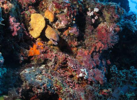 Moray Eel (corythoichthys flavofasciatus) hiding in a coral reef