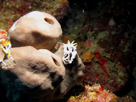 Black and White Nudibranchs on a Natural Coral Reef Stock Photo