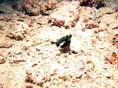 Variable Neon Seas Slug  Nudibranch (nembrotha kubaryana) on a small shell Stock Photo