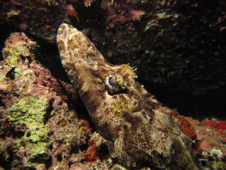 Tentacled Flathead / Crocodilefish (papilloculiceps longiceps) resting on an artificial reef