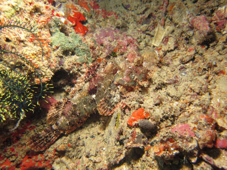Raggy Scorpionfish camouflaged against  hard coral Stock Photo