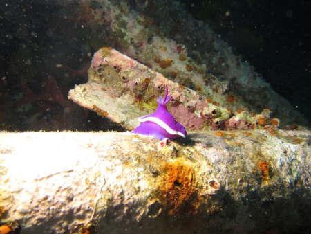 Pink  Purple Nudbiranch (hypselodoris) on an artificial reef system Stock Photo