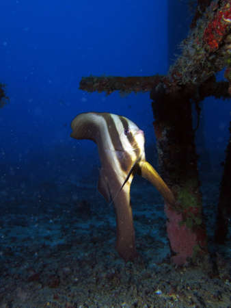Juvenile Batfish  Platax Orbicularis  in an artificial reef photo