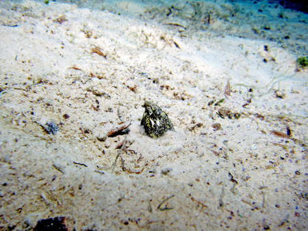 Marbled Snake Eel  callechelys marmorata  hiding in the sand Stock Photo