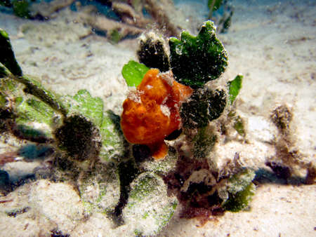 Orange Frogfish   Anglerfish  antennarius  in an estuary Stock Photo