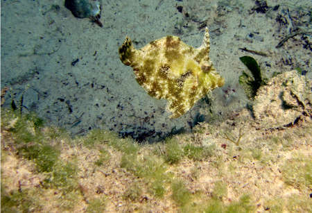 Filefish  prionurus paraluteres  in an estuary