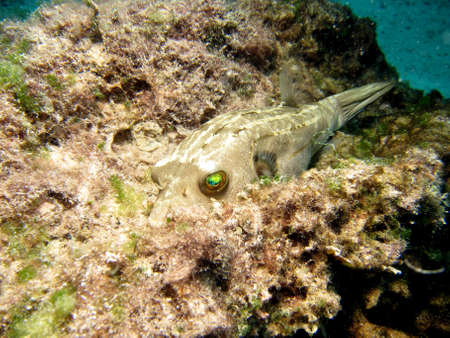blackspotted: Blackspotted Pufferfish  arothron nigropunctatus  with reflective eyes, resting on Coral
