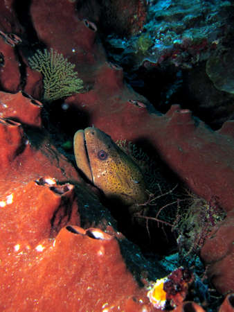 Moray Eel hiding in hard coral Stock Photo - 21849910