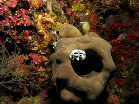 Pacific Nudibranch Stock Photo