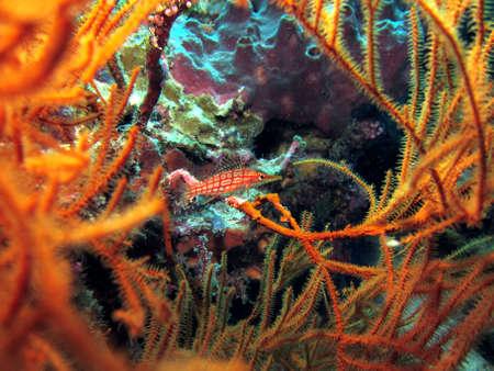 Longnose Hawkfish  oxycirrhites typus  hiding amongst coral Stock Photo