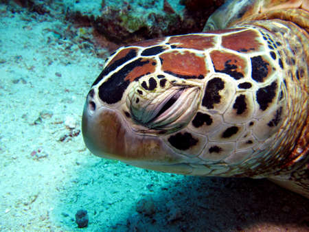Sleepy Hawksbill Turtle resting underwater Stock Photo