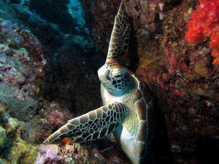 Green Hawksbill Turtle holding on in a strong current, in a crevasse