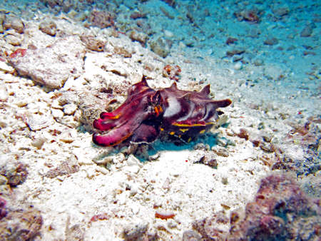 Flamboyant Cuttlefish  metasepia pfefferi  displaying beautiful colours Stock Photo