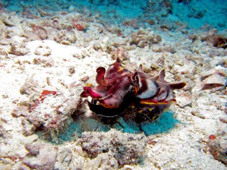 Flamboyant Cuttlefish  metasepia pfefferi  displaying beautiful colours Stock Photo