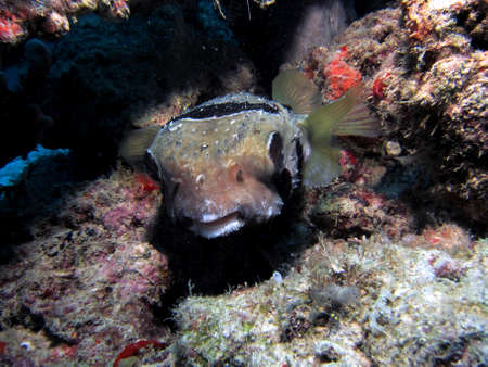 Negro-Blotched corto Spined Porcupinefish Blowfish Diodon liturosus photo