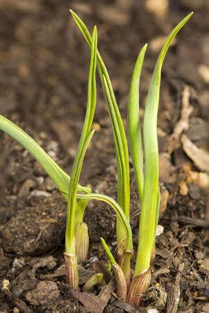 New Garlic  Allium Sativum  shoot growing in a cultivated organic herb garden