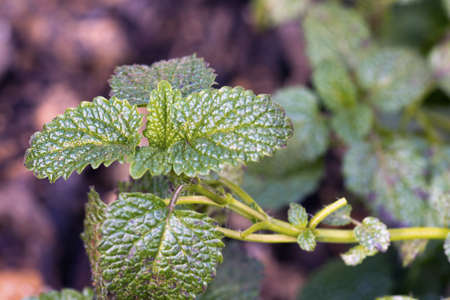 Closeup of Lemon Balm  Melissa officinalis  growing in a cultivated herb garden