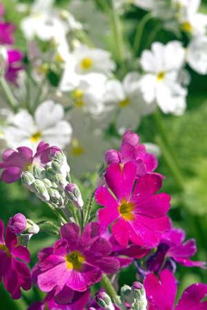 Perefctly cultivated White and Purple Primula growing in a sunny garden