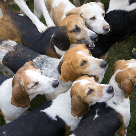 A small pack of alert waiting Beagles Stock Photo