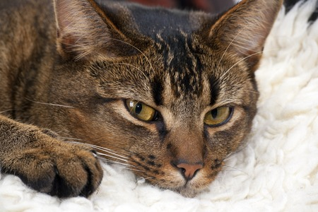 Cute playful wide-eyed part Abyssinian young male cat resting