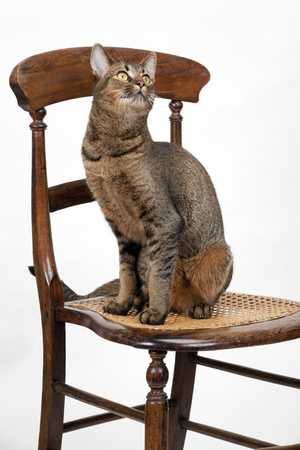 Cute wide-eyed part Abyssinian young male cat sitting on a chair watching alertly