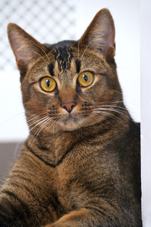 Cute playful part Abyssinian male kitten looking wide eyed at the camera