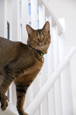 Cute playful wide-eyed part Abyssinian young male cat peers through the banisters