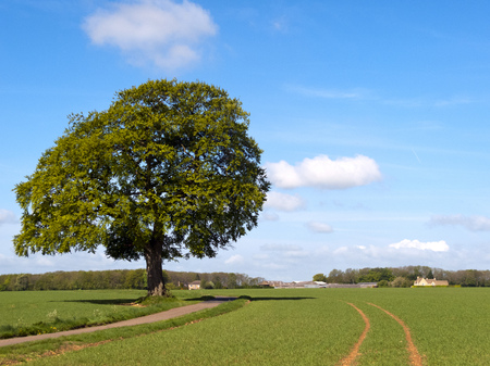 A single track rural country lane passes by a specimen tree  and green fields towards a rural Cotswold farm in Gloucestershire, UK