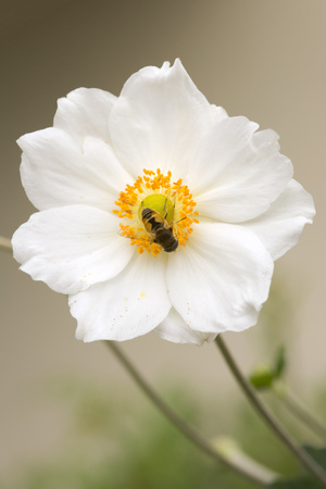 A single white and yellow Japanese Anenome flower and bee