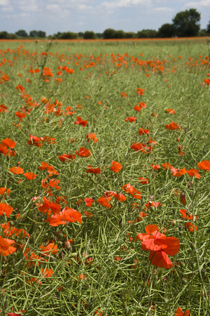 Vibrant summer poppy in field in The Cotswolds near Lechlade, Gloucestershire, UK Stock Photo