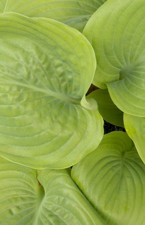 Vibrant green hosta leaves full frame close-up Stock Photo