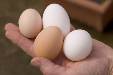 Fresh laid free range eggs