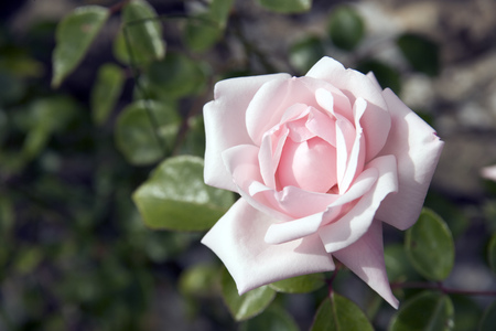 A single pink rose flower Stock Photo
