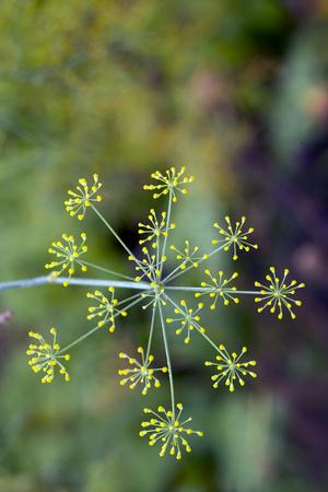 Yellow Fennel flowers
