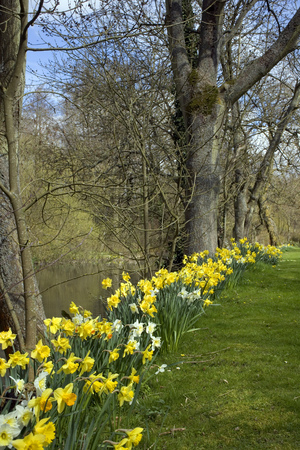 Row of spring daffodils lining the side of a pond