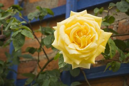 Vibrant yellow climbing rose