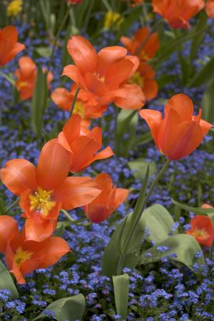 Orange tulips on blue background