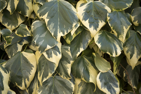 Variegated ivy background texture