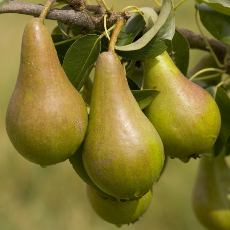 Pears ripening on the tree Stock Photo