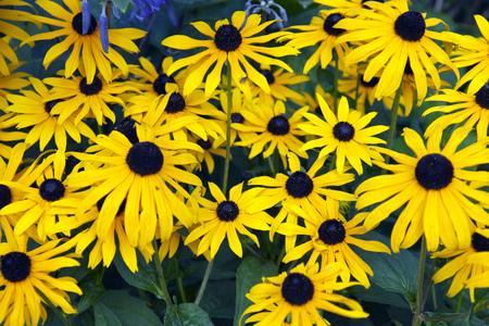 Colourful yellow rudbeckia flower display Stock Photo