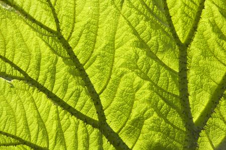Gunnera leaf backlit texture