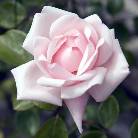 A single pink rose flower Reklamní fotografie