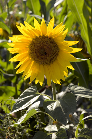 A single sunflower on the edge of a field of sunflowers